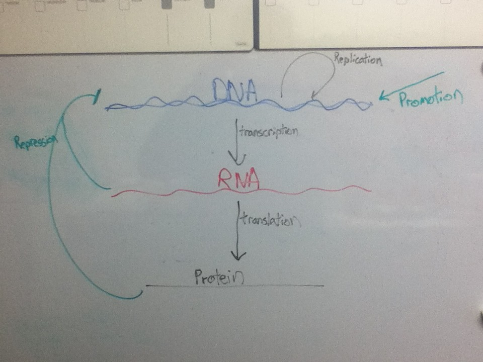Concept Map: Central Dogma of Genetics
